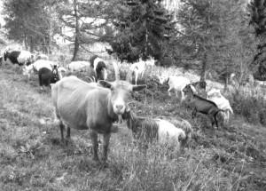 goat*